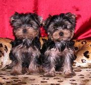 2 йоркширских щенков для продажи